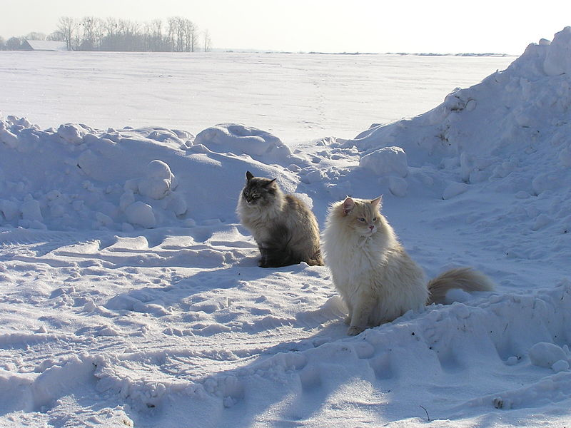 800px-Neva_masquarade_cats_in_snow