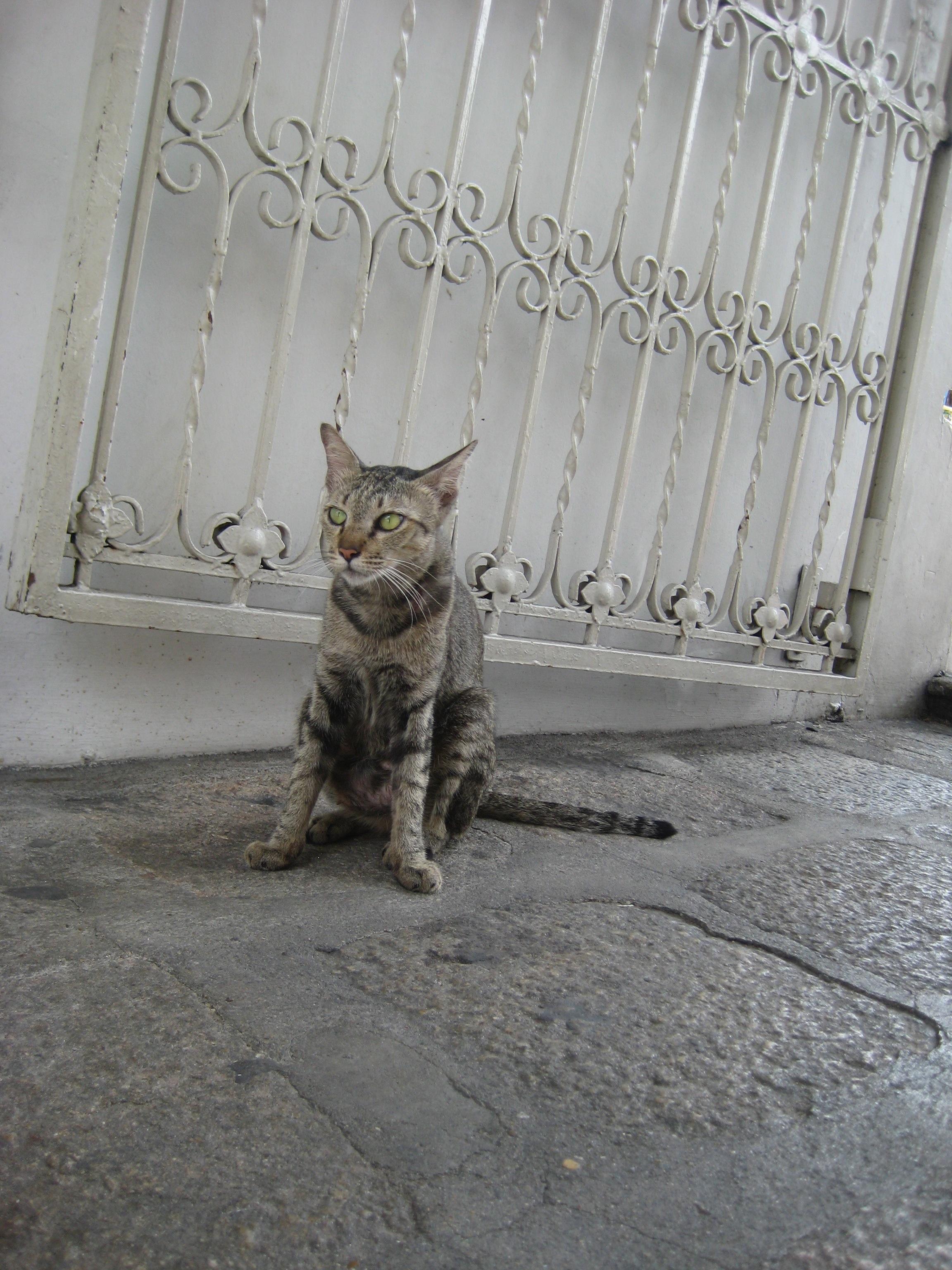 タイの寺院周辺のネコ