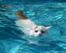 水泳中のターキッシュバン_swimmingcat