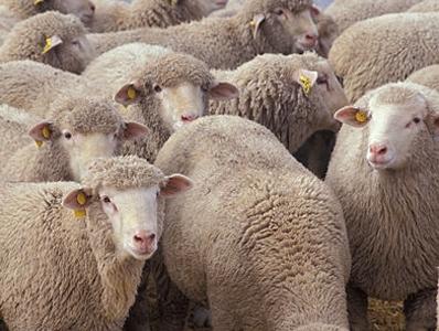 sheep1[1]