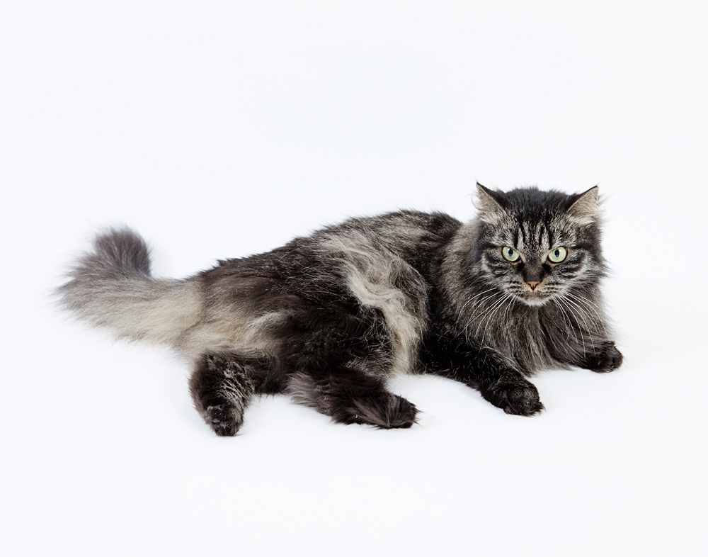 Siberian_Forest_Cat