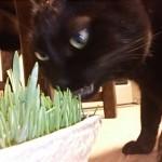 猫草とはなにか 〜猫草食べないけど大丈夫?〜
