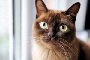 burmese-cat-health-and-genetics-547d89dd3bffd