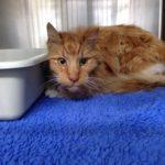 猫の甲状腺機能亢進症のアウトライン
