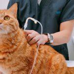 猫の飼い主さんにアンケート「自宅で皮下点滴できてますか?」