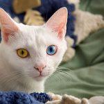 猫のオッドアイについて~聴覚、発生率など~