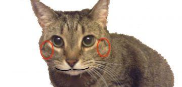 猫のオスとメスの見分けるコツ〜成猫編〜