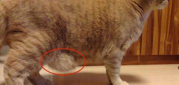 猫のお腹に余ってる皮の名前と、たるんでいる理由