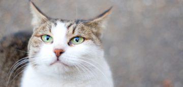 猫の膵炎のアウトライン